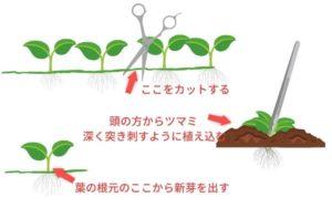 グロッソスティグマの植え方