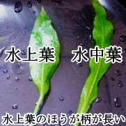 水中葉と水上葉