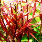 赤系水草が赤くならない!?赤くなる仕組みと赤くする方法
