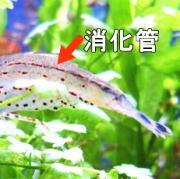 ヤマトヌマエビの消化管
