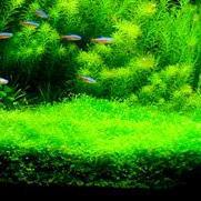 水槽に入れる水草の選び方と植え方