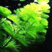 金魚藻の別名・種類と金魚藻の上手な育て方・増やし方