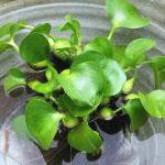 ホテイアオイ(ホテイ草)の育て方|越冬・枯れる理由・株分けと増やし方