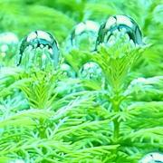 気泡を付けた水草