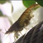 ミナミヌマエビの繁殖 産卵から抱卵・孵化した稚エビの成長