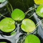 浮き草 アマゾンフロッグビットとドワーフフロッグビットの育て方|室内・屋外