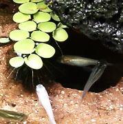 メダカ水槽におすすめ!浮草 サルビニアククラータの育て方 越冬と茶色くなる理由