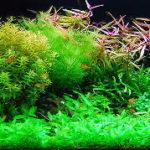 初心者でも作りやすい有茎水草レイアウト 植え方とトリミングの方法