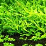 グリーンロタラが真っ直ぐ育たない・曲がる・匍匐する