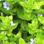 水草の水上葉とは?水上葉の種類・育て方・増やし方