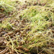 部分的に枯れた水草