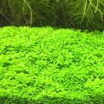 ニューラージパールグラスの育て方・植え方 絨毯を作るためのco2と肥料
