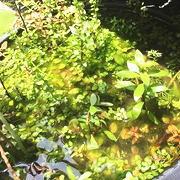 水上葉のビオトープ