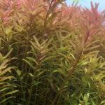 ロタラインディカの下部の葉が溶ける