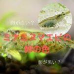 ミナミヌマエビの卵の色