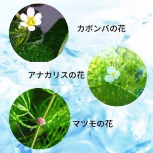 金魚藻の花