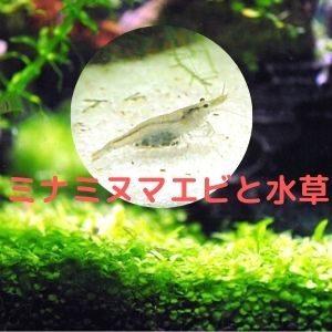 ミナミヌマエビと水草