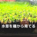 水草を種から育てる