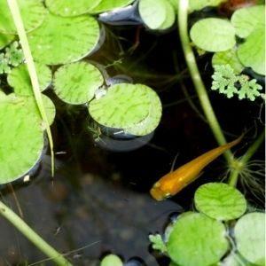 メダカと水草