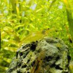 ミナミヌマエビが繁殖しない・卵を産まない・増えない6つの理由