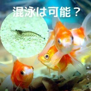 ヤマトヌマエビと金魚の混泳