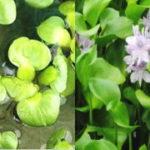 ホテイアオイが大きい・小さい ホテイアオイの大きさを左右する条件と育て方