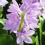 ホテイアオイの花が咲かない 花の咲かせ方と時期