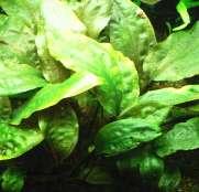 初心者でも育てやすいおすすめ水草30種以上!種類別育て方・植え方