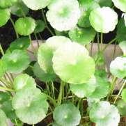 ミニマッシュルームの水上葉