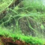 コケまみれの水草水槽を綺麗にする方法 コケの取り方・減らし方
