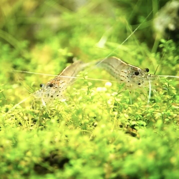 コケ取り生体の飼育適正数 ヤマトヌマエビなどは何匹飼うのがいいのか?