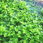 ニューラージパールグラスの水上葉