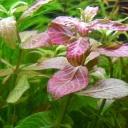 初心者にも育てやすい赤系水草 ハイグロフィラロザエネルヴィスの育て方